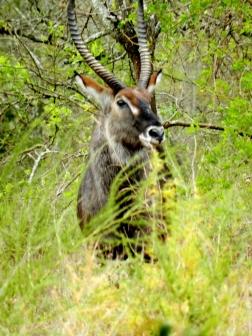Kobus - Akagera national park/Rwanda