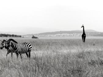 Giraffe&zebra - Akagera national park/Rwanda