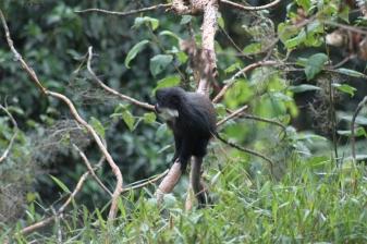 Blue Monkey - Nyungwe Forest/ Rwanda