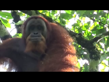 Orango in Gunung Leuser - Sumatra